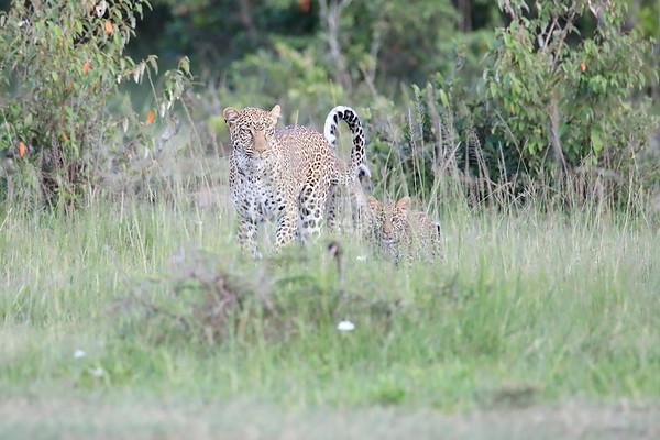 Leopard Cubs Mara 2018