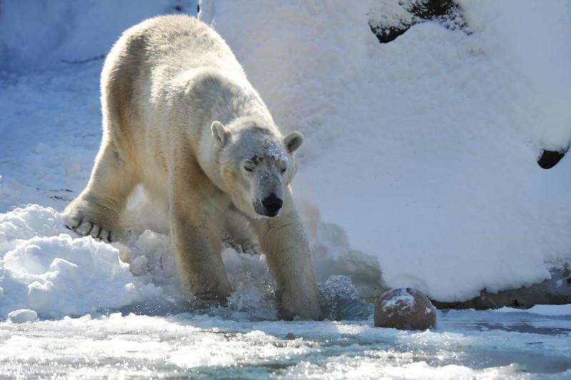 Tundra breaking the ice
