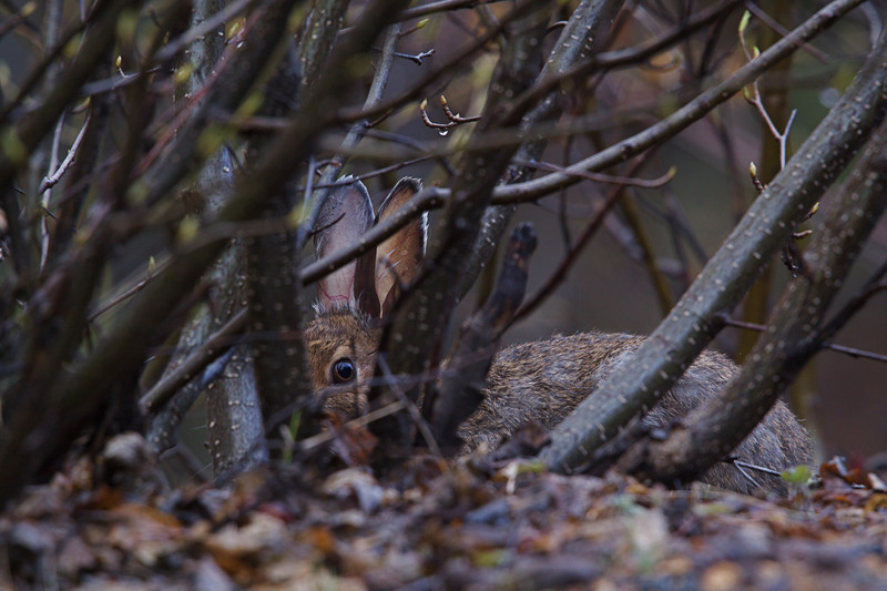A Snowshoe Hare plays peek-a-boo