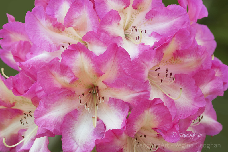 Flowering Shrubs_Rhododendron_0088.jpg