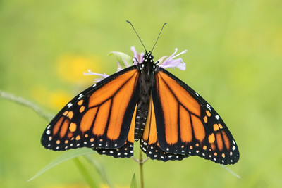 August 19, 2018 - Monarch Butterfly - 2