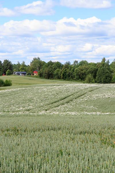 Balderbrå i høstkorn