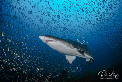 Sand Tiger Sharks In Blue Water