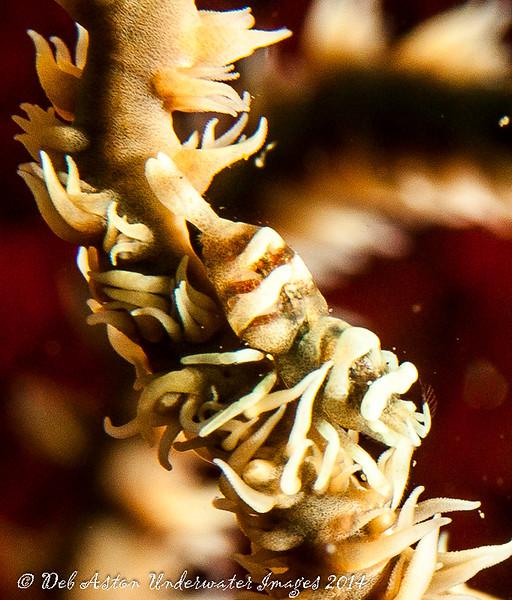 Whip coral shrimp Pontonides ankeri
