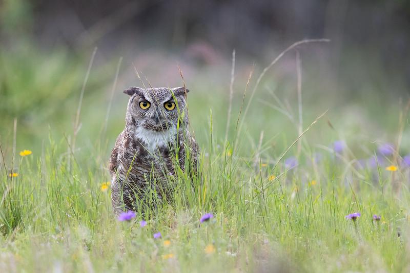 Great Horned Owl in Field of Flowers