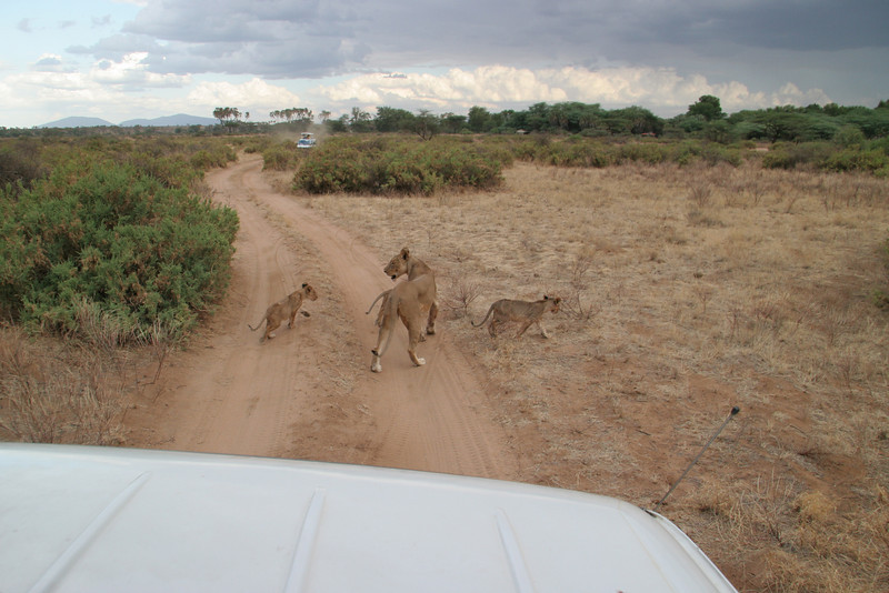While we saw many lions on safari, this group was our only sighting of cubs during our entire trip.