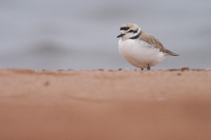 Rare plovers seem to be attracted to Park Point on Lake SuperiorSnowy Plovers are a very rare visitor to Minnesota [May; Park Point, Duluth, Minnesota]