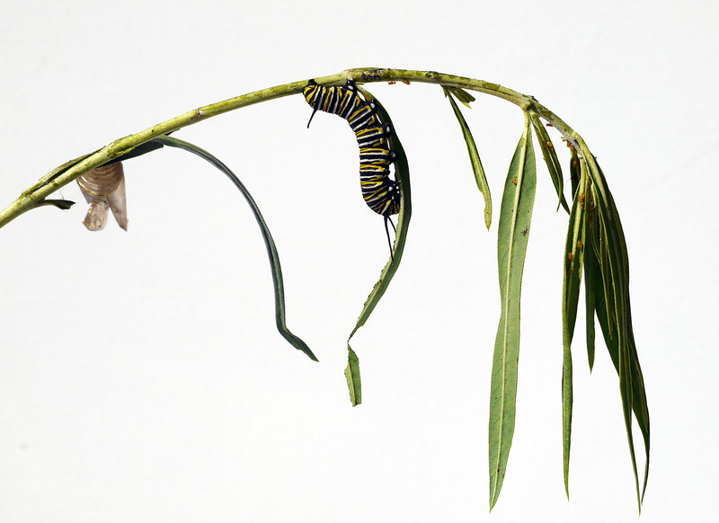 Monarch Caterpillar.jpg
