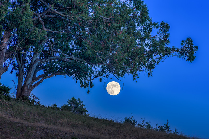 Thunder Moon & Eucalyptus, Sea Ranch, CA