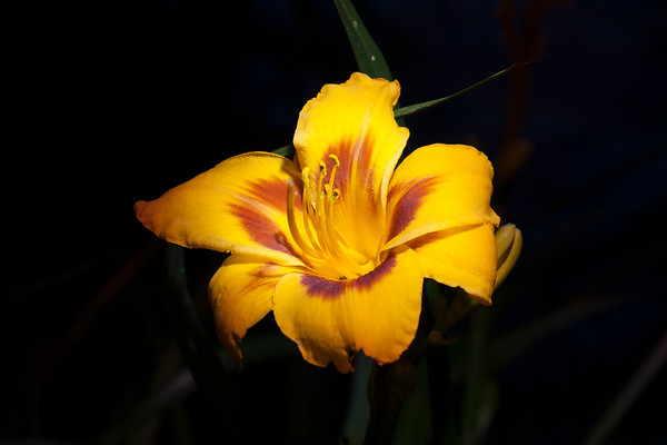Light Painted Lily