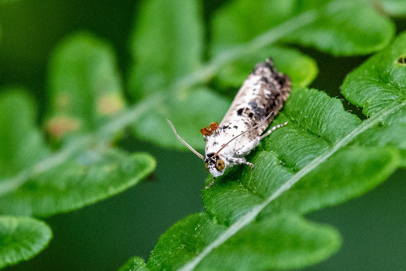 Hedya salicella - White-backed Marble moth