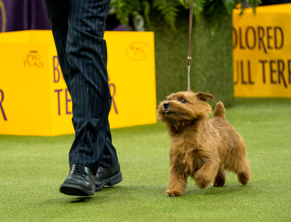 . Winston, a Norfolk terrier walks with handler Ernesto Lara before winning the terrier group during the 142nd Westminster Kennel Club Dog Show, Tuesday, Feb. 13, 2018, at Madison Square Garden in New York. (AP Photo/Craig Ruttle)