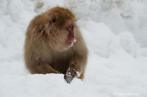 Yudanaka Snow Monkeys 日本猿