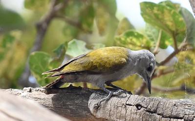 A 31 Woodpeckers-Spechte