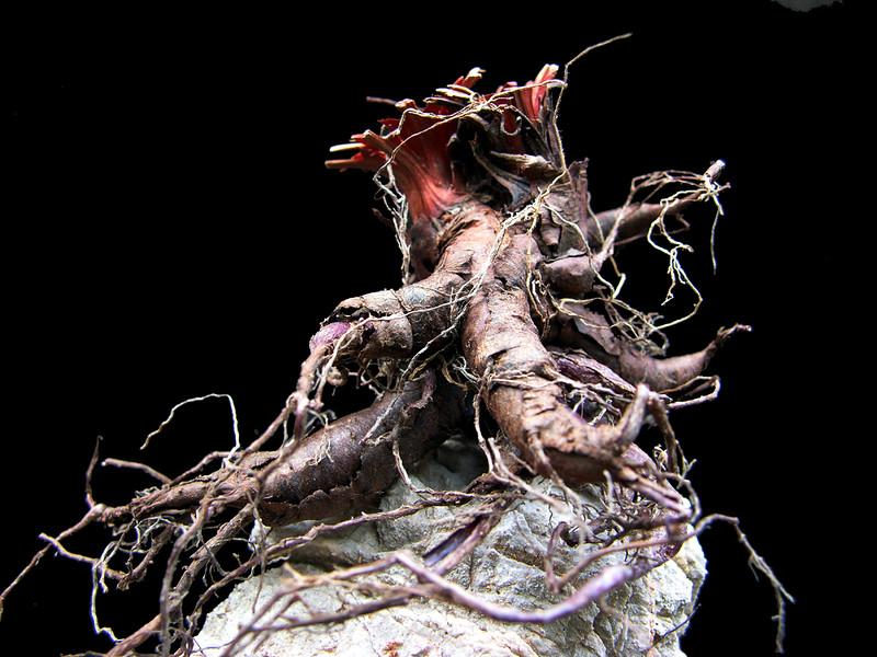 Pelargonium oblongatum tuber