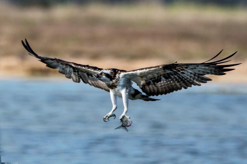 falco pescatore_MSN2892_2.jpg