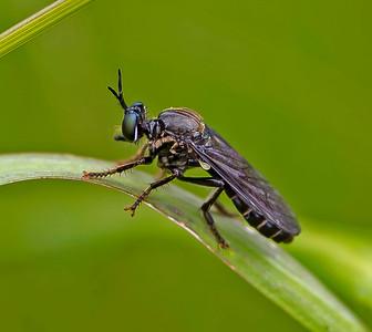 Dioctria Atricapilla