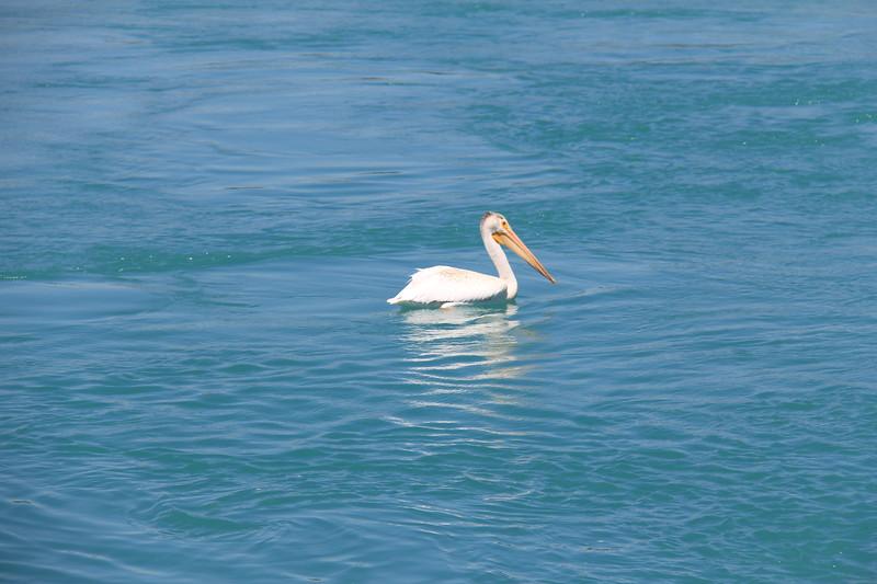 20180718-010 - Idaho - Pelican at Bear Lake Dam.JPG