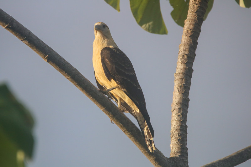 Hawk in Flight - Bird Watching in Costa Rica