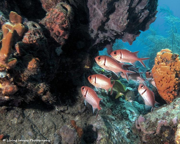Dom Mar2014 - Soldierfish-1.jpg