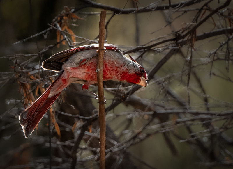 Pyrrhuloxia (male underbelly)