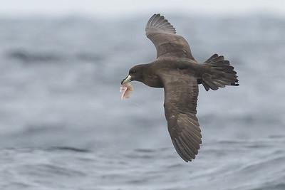 2016 May 29 Eaglehawk Neck Pelagic