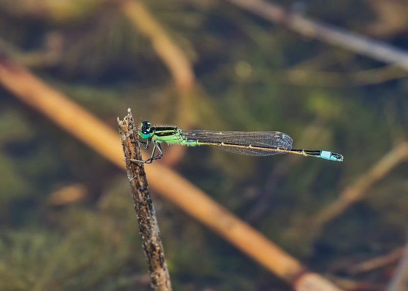 Male, Summit Bridge Ponds