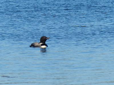 20160718 Common Loon