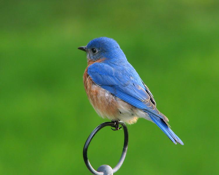 Bluebird_1196.jpg
