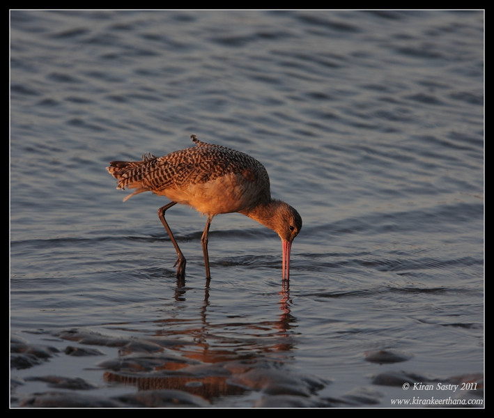 Marbled Godwit in the setting sun, Robb Field, San Diego River, San Diego County, California, October 2011