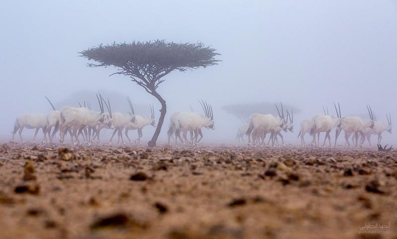 Arabian Oryx (47).jpg