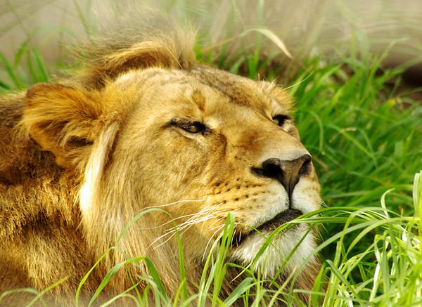 Lion-Aug-15,2.jpg
