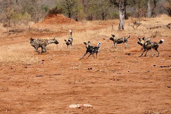 Wild Dog versus Hyena MalaMala South Africa 2019