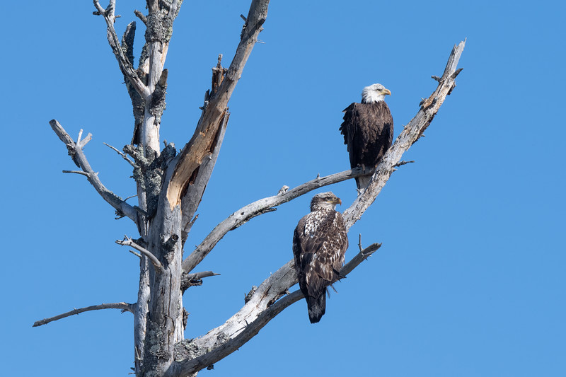 #1575 Bald Eagles