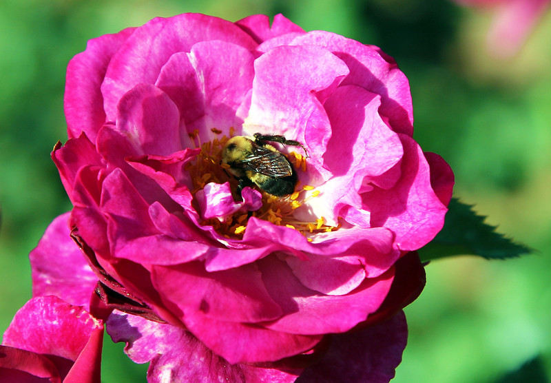 A bee pollinates a Bellingrath rose.