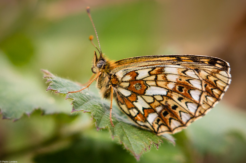 Small Pearl-Bordered Fritillary - Underwing