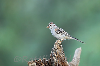 Rufous-Winged Sparrows