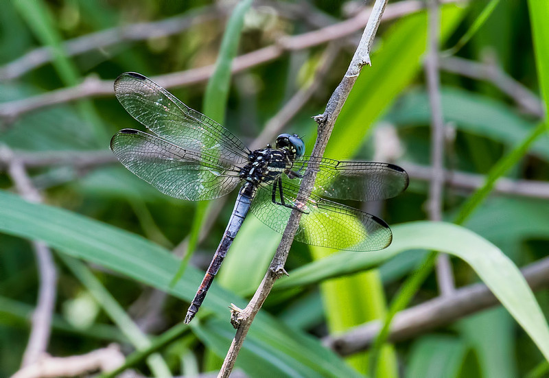 Gray-waisted Skimmer (Cannaphila insularis), male; Bentsen SP