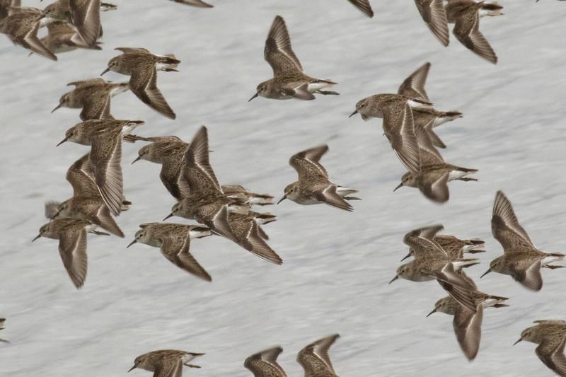 Sanderling Flock in Flight