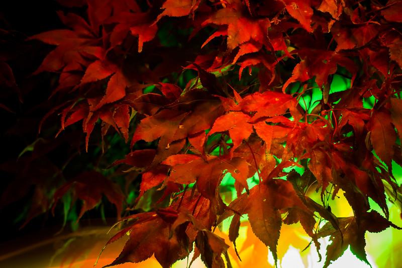 lightpainting - behind red autumn leaves.jpg