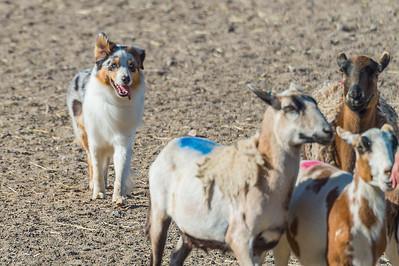 PM Course A Sheep - STD