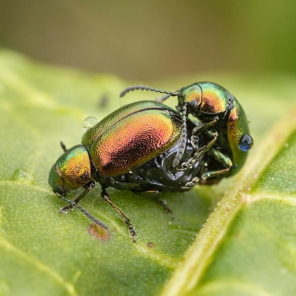 Green dock beetles  mating