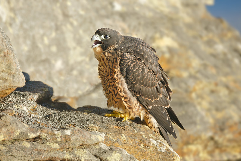Peregrine Falcon 23.jpg