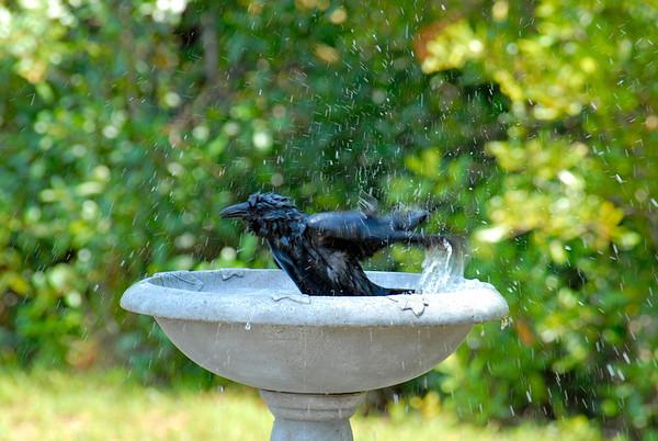 Crow(s) Bathing