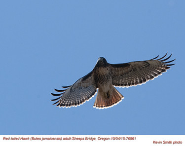 Red-Tailed Hawk A76861.jpg
