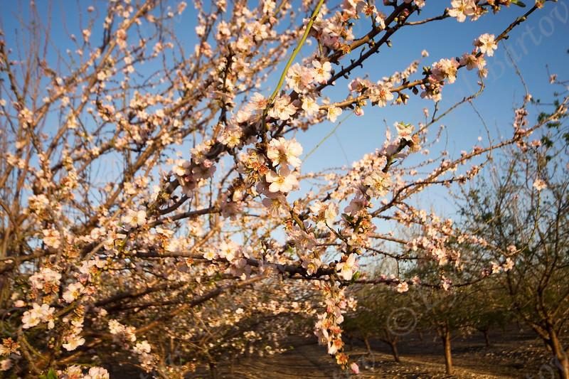 4U7C9977 Almond flowers.jpg