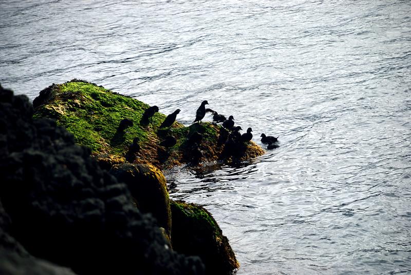 Fuglar í Hornvík.