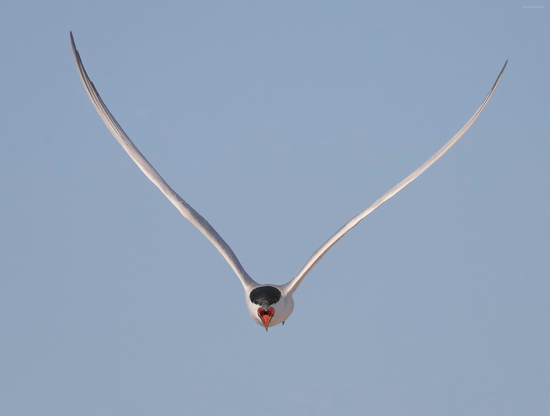 Gull Billed Tern