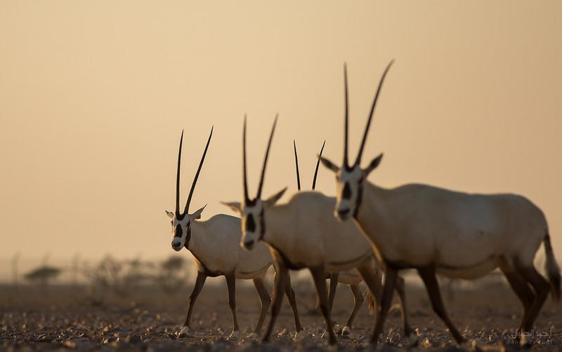 Arabian Oryx (73).jpg