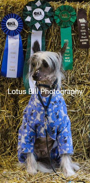Chinese Crested (18 of 30).jpg